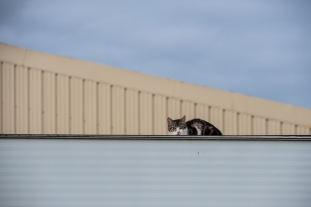 Cat on an aluminium roof